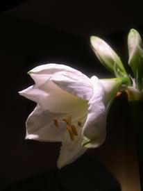 amaryliis opening bud