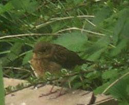 baby robin