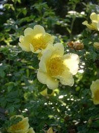 Rosa canary bird