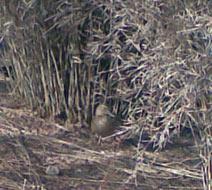 duck in reeds