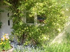 front door and rosa Banksia