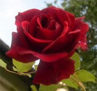 Guinee Rose