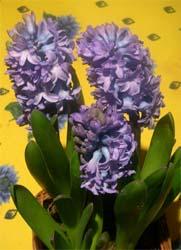indoor hyacinths