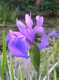 iris in spring pond