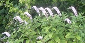 meercat flowers