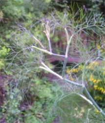 wild fennel