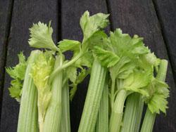 Winter Celery