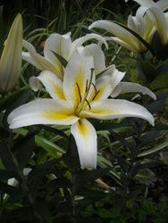 Photo: Lilies