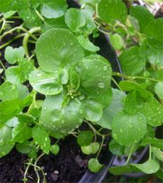 Photo: Home grown watercress