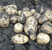 Potato plans for 2010