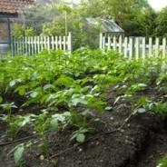 Grow good potatoes, bluestone and assorted memories of my dad