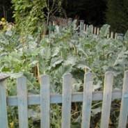 Kitchen Garden update September 2009