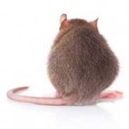 Rat invasion