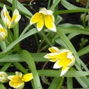 The secret of species tulips