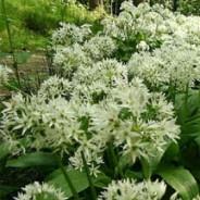 Wild garlic: Ramsons (Allium ursinum)