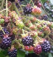 Gilbert's blackberry whisky recipe
