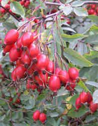 Rosehips in our garden