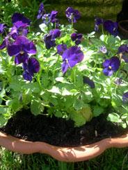 Photo: Spring violas